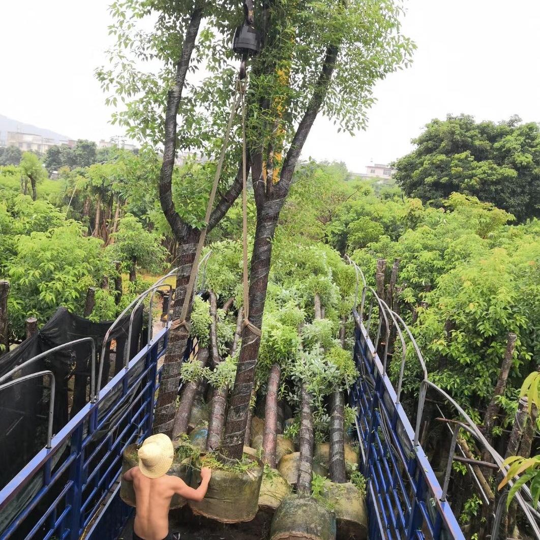 广东香樟价格华盛苗木供应20公分移植香樟袋苗假植苗