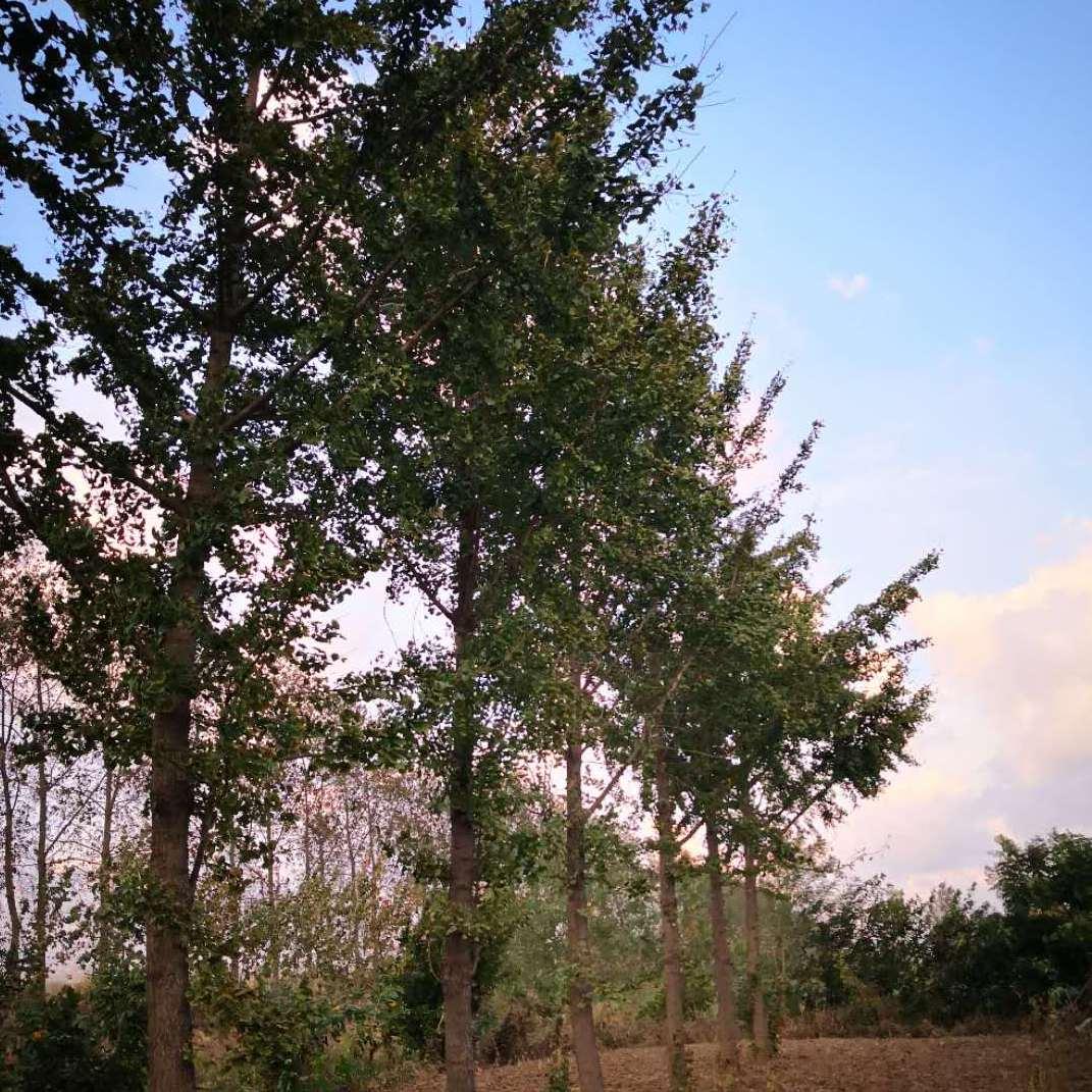 15公分银杏树