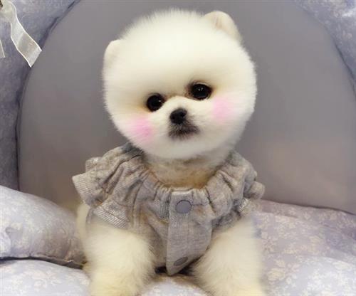 博美、尊宠天下国际宠物俱乐部(图)、博美犬出售