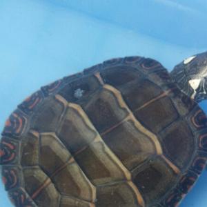 活体美国佛州观赏火焰龟