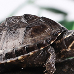 麝香龜活體小烏龜龜苗寵物觀賞招財龜水龜