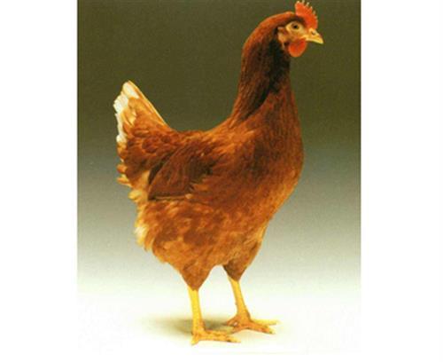 邵陽海蘭褐、華帥青年雞成活率高、海蘭褐廠家價格