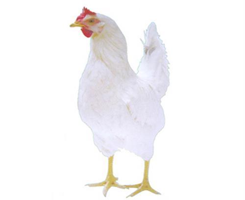南充海兰褐,华帅青年鸡就是好,海兰褐批发/价格
