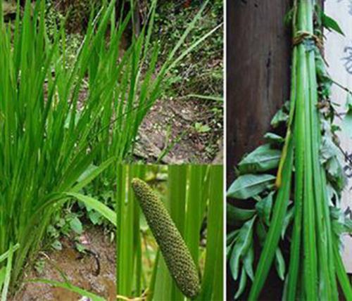 陕西菖蒲报价,菖蒲报价,众禾水生植物(在线咨询)