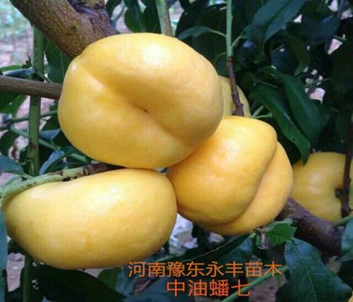 永丰桃树苗基地(在线咨询),安徽新品种桃苗,新品种桃苗基地
