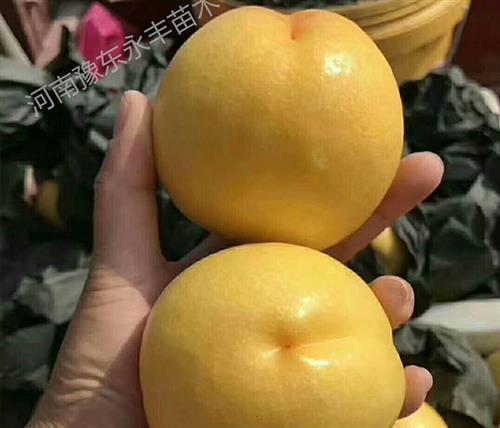 安徽新品种桃苗,永丰桃树苗批发,新品种桃苗出售