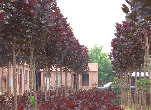 大连杨树种植园|中兴苗木(图)|景观小道杨树种植园