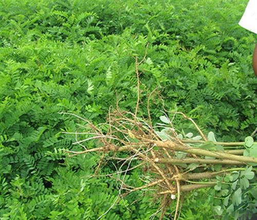 紫林种植值得信赖(图)|紫穗槐基地|紫穗槐