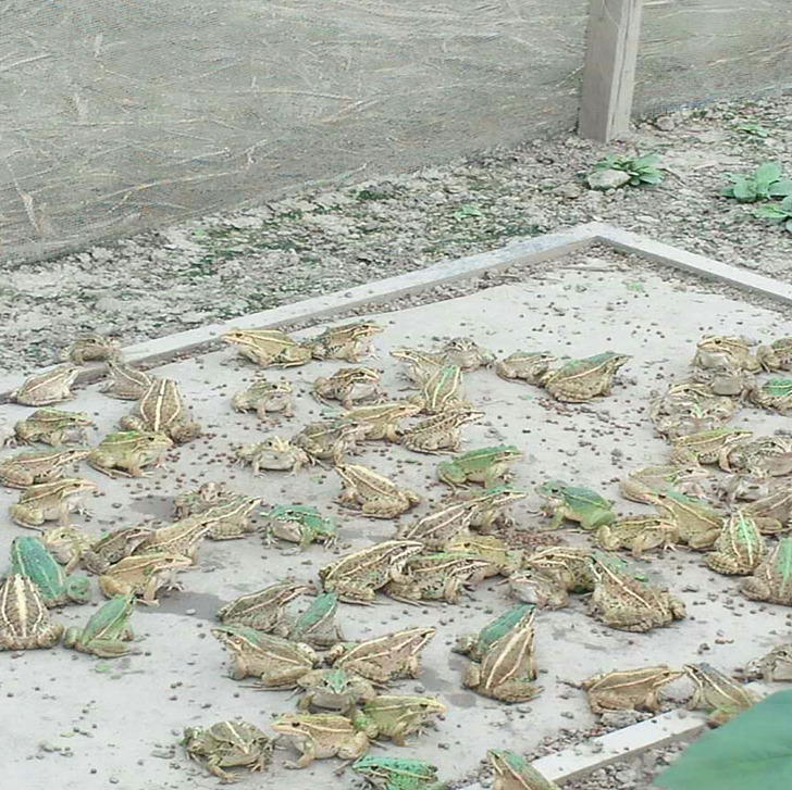 浙江黑斑蛙养殖厂家