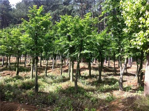 淘氧彩叶苗木(在线咨询)|北美红枫|北美红枫种植