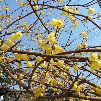 苏州腊梅树 腊梅花培育种植基地 腊梅树苗圃基地 苏州别墅绿化苗木