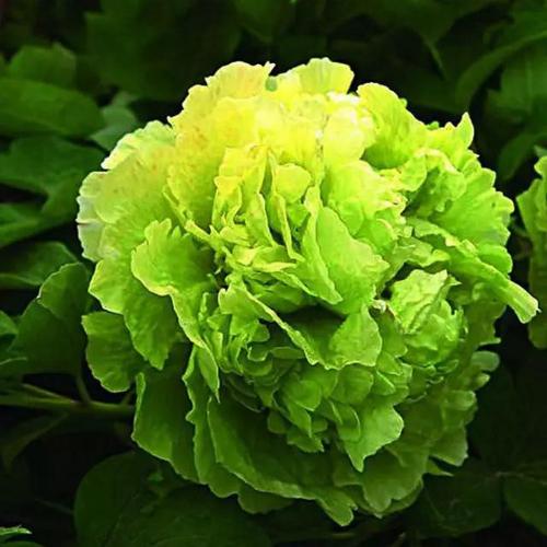 林州市临淇镇国色牡丹园    豆绿牡丹花